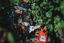 Vine surgery practice | Pauillac vineyards | Bordeaux