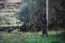 Alberello | Planeta | Passopisciaro | Sicilia