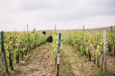 Spring training | Côte des Blancs | Champagne