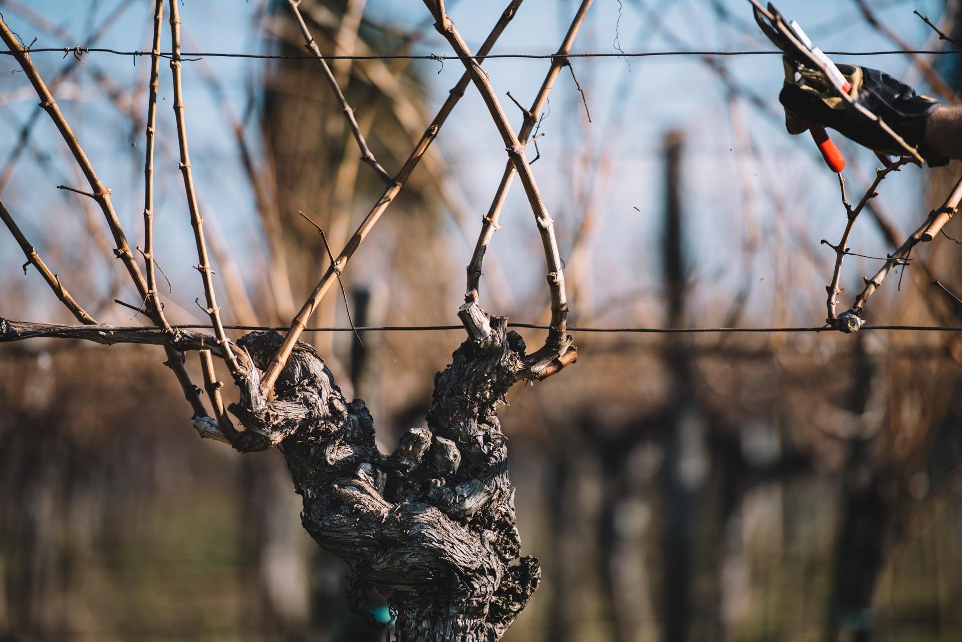 Guyot 40 years old  | Schiopetto | Collio | Friuli Venezia Giulia