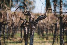 Guyot double. Conversion to branched pruning respecting the sap flow | Schiopetto | Collio