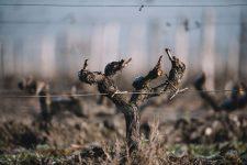 Cot sauternais | Château d'Yquem | Sauternes | Bordeaux