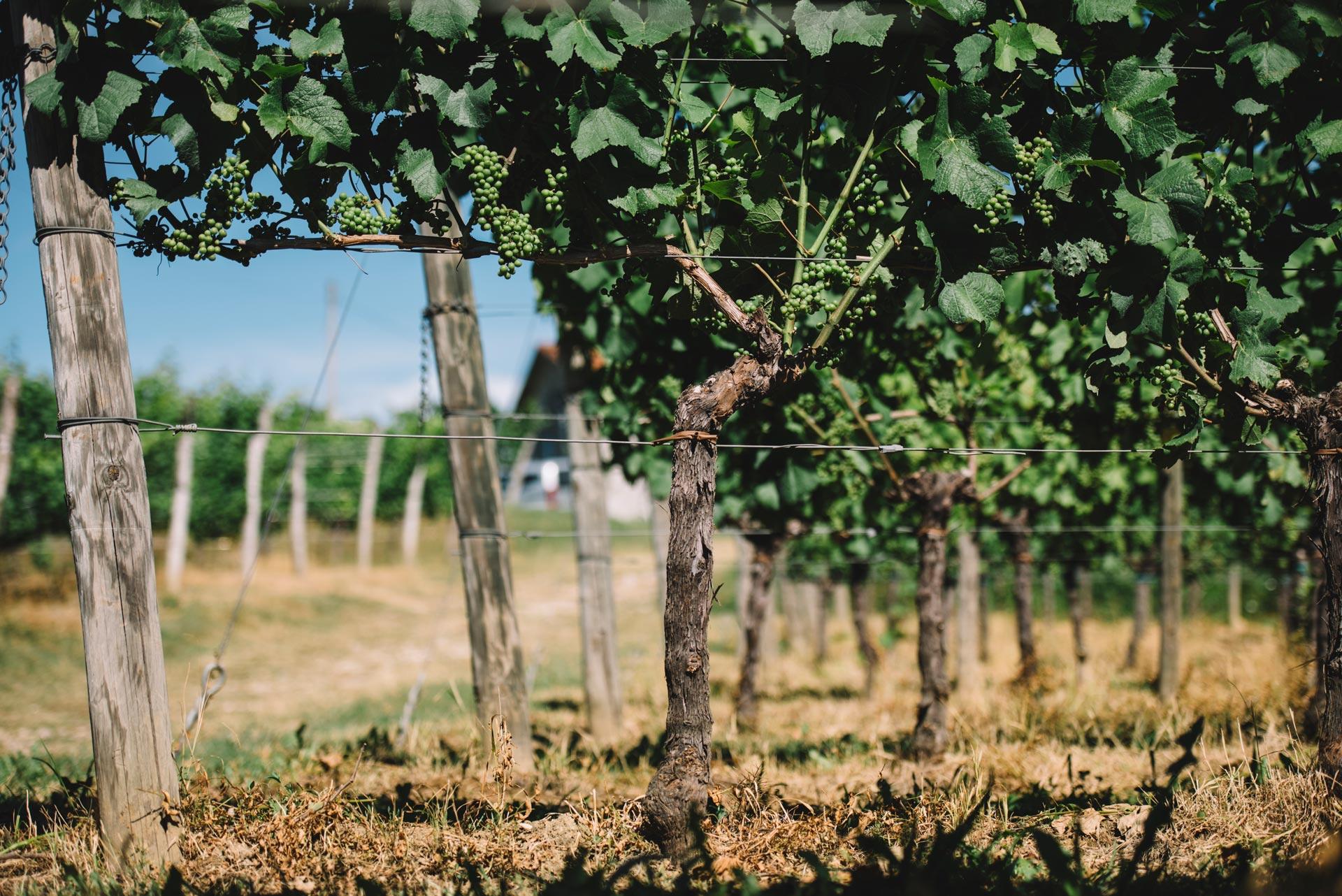 Single Guyot | Schiopetto | Collio | Friuli Venezia Giulia