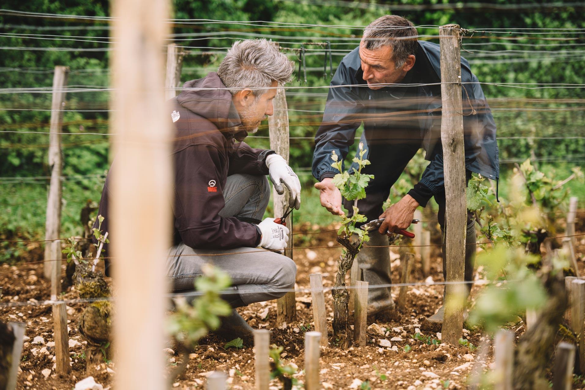 Tutoraggio in vigna   Domaine Leroy   Chambertin   Bourgogne