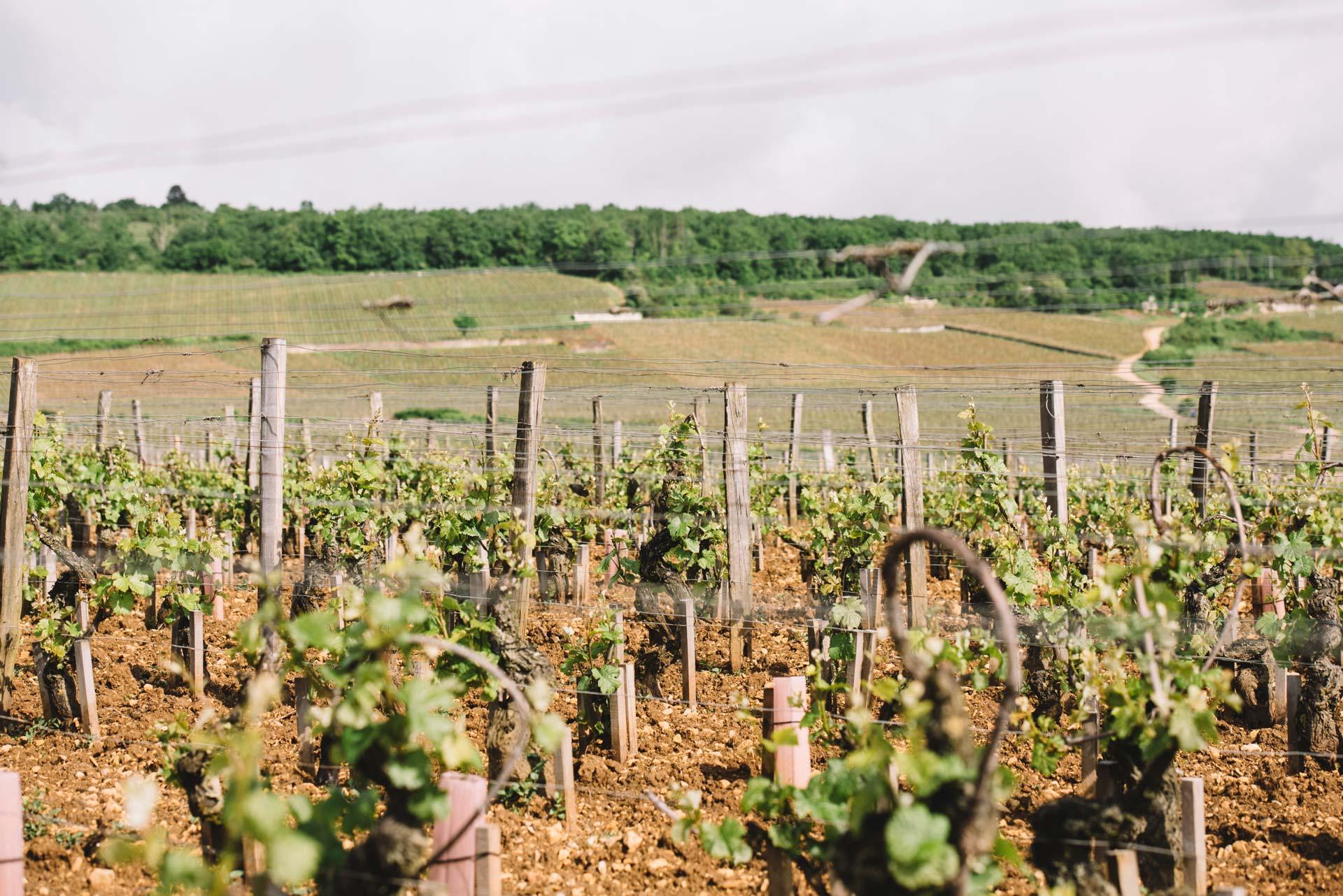 Tutoraggio in vigna   Domaine Leroy   Richebourg   Bourgogne