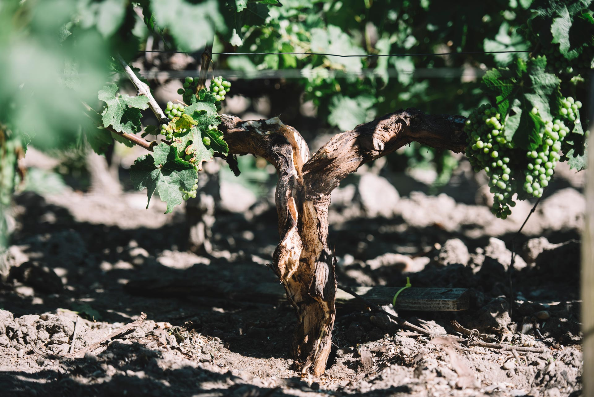 Guyot after treatment | Pauillac vineyards | Bordeaux