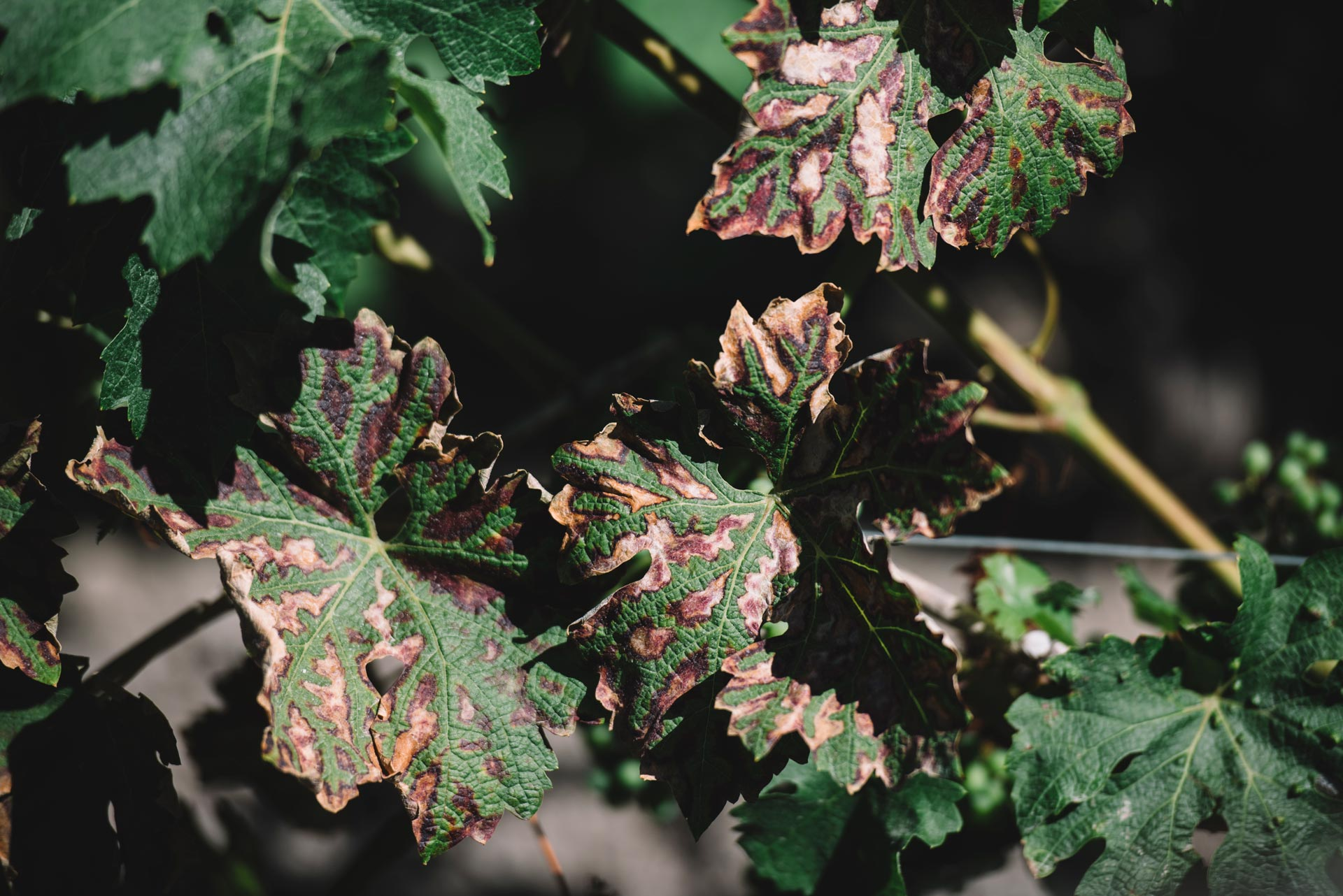Guyot medoc, esca disease appearance | Pauillac vineyards | Bordeaux