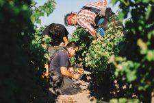 Vine surgery practice   Pauillac vineyards   Bordeaux
