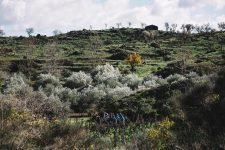 Pruning Practice | Planeta | Passopisciaro | Sicilia