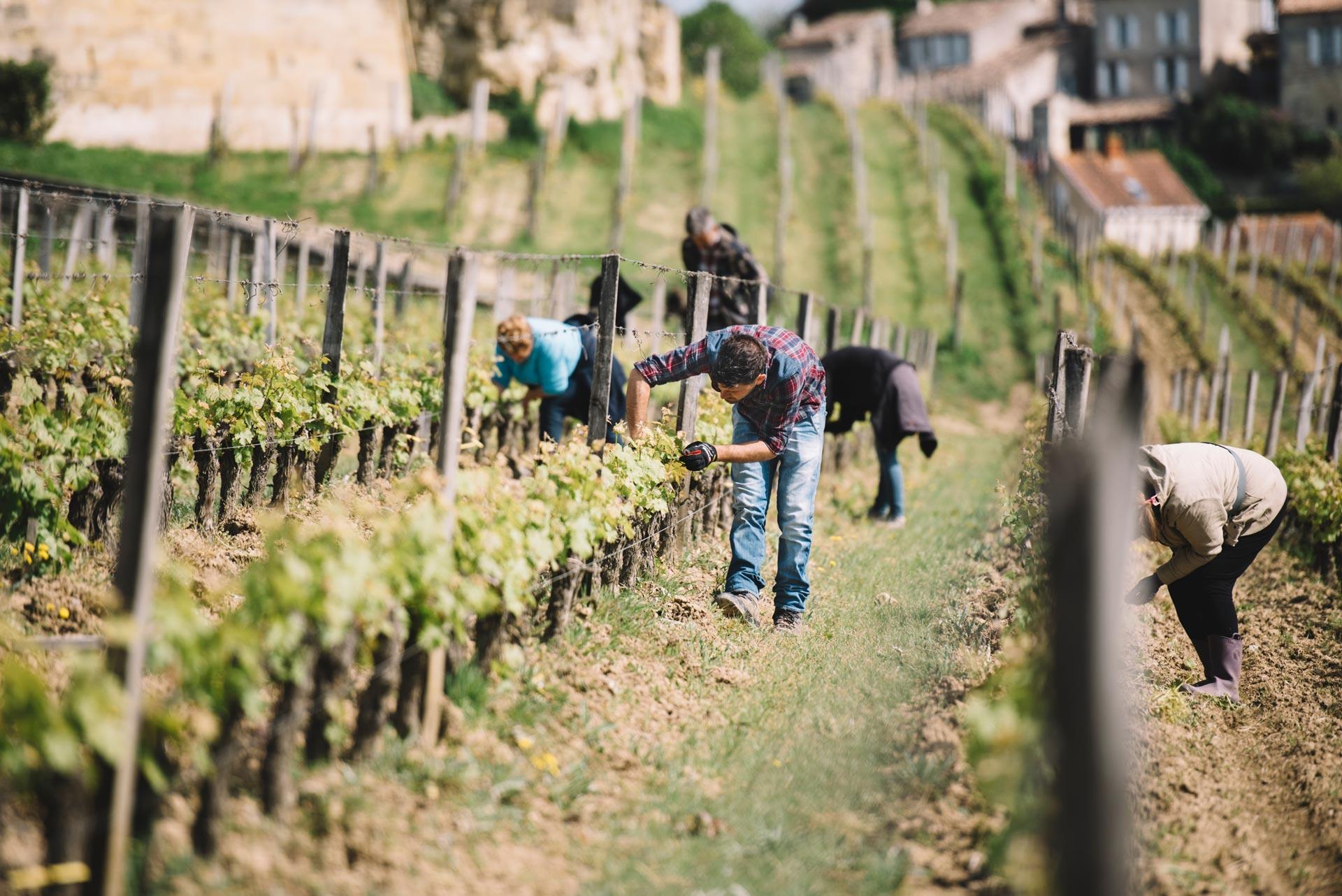 Spring training | Château Ausone | Saint Émilion | Bordeaux
