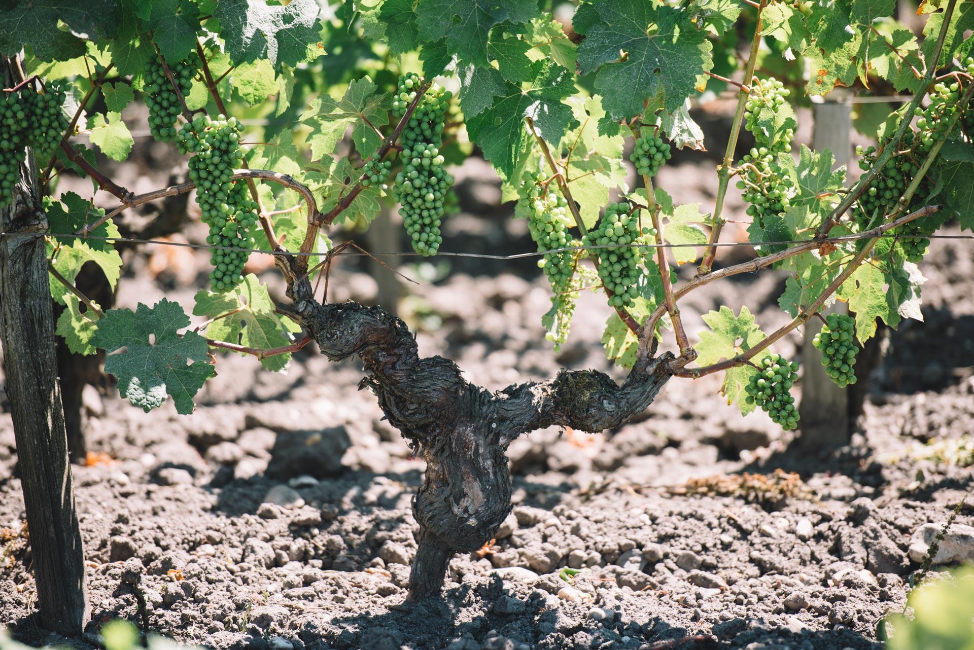 Guyot medoc   Château Pichon Lalande   Pauillac   Bordeaux