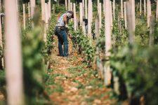 Soil working   Domaine Leroy   Richebourg   Bourgogne