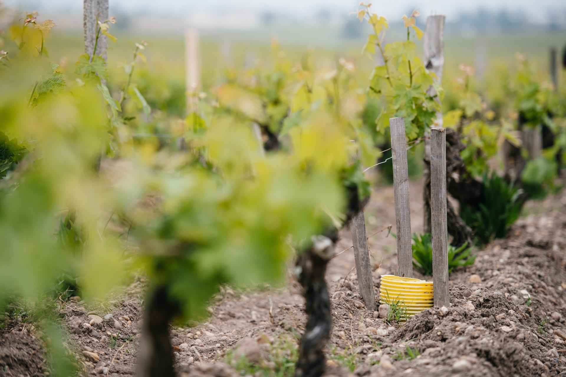 Cleft-grafting   Château Pontet-Canet   Pauillac   Bordeaux